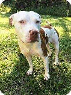 American Staffordshire Terrier Dog for adoption in Boca Raton, Florida - Nelly
