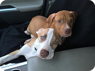 Terrier (Unknown Type, Medium) Mix Puppy for adoption in Jerseyville, Illinois - Malyk
