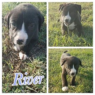 Labrador Retriever/American Pit Bull Terrier Mix Puppy for adoption in Oxford, Connecticut - River