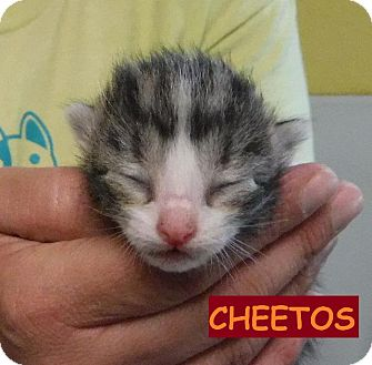 Domestic Shorthair Kitten for adoption in Batesville, Arkansas - Cheetos