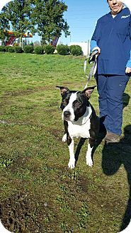 Pit Bull Terrier Mix Dog for adoption in Tumwater, Washington - Yoshi