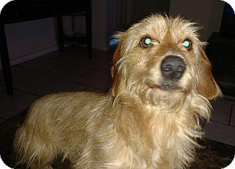 Norfolk Terrier Mix Dog for adoption in Tampa, Florida - Donny