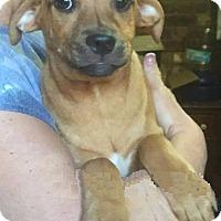 Adopt A Pet :: Bridle - North Brunswick, NJ