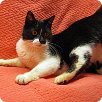 Domestic Shorthair Cat for adoption in Fayetteville, Tennessee - 17-c05-005 Snaggles