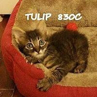 American Shorthair Cat for adoption in Spring, Texas - Tulip