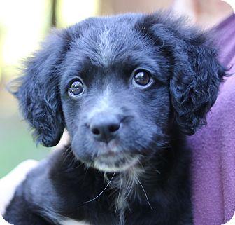 Spaniel (Unknown Type) Mix Puppy for adoption in Cedartown, Georgia - Willow