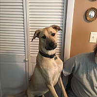 Labrador Retriever/Great Dane Mix Dog for adoption in Winsted, Connecticut - Gonzo
