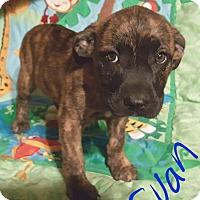 Adopt A Pet :: Evan - Niagra Falls, NY
