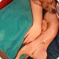 Chihuahua/Italian Greyhound Mix Dog for adoption in Las Vegas, Nevada - Kai