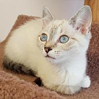 Adopt A Pet :: Chiffon - Waxhaw, NC