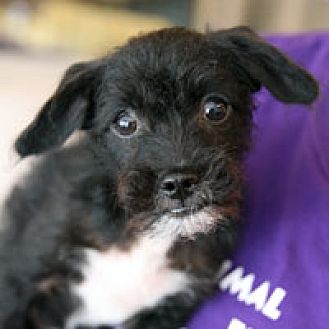 Terrier (Unknown Type, Medium) Mix Puppy for adoption in Pacific Grove, California - Lito
