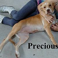 Adopt A Pet :: Precious - Leslie, AR
