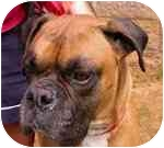 Boxer Dog for adoption in Gainesville, Florida - Kaiser