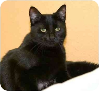 Domestic Shorthair Cat for adoption in Phoenix, Oregon - Cagney