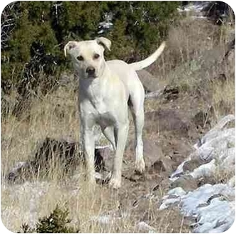 Labrador Retriever Mix Dog for adoption in Santa Fe, New Mexico - Nelson