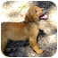 Photo 2 - Labrador Retriever Mix Puppy for adoption in Weeki Wachee, Florida - Dinky