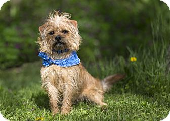 Terrier (Unknown Type, Small) Mix Dog for adoption in Ile-Perrot, Quebec - Muttley