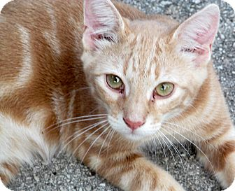 Ocicat Kitten for adoption in Ocala, Florida - Marmalade