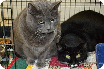 Domestic Shorthair Cat for adoption in Elyria, Ohio - Little One & Bootsy