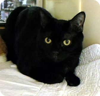Domestic Shorthair Kitten for adoption in Worcester, Massachusetts - Stella