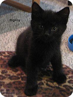 Domestic Shorthair Kitten for adoption in Portland, Oregon - Bigsby