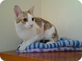 Calico Cat for adoption in Modesto, California - Ginger