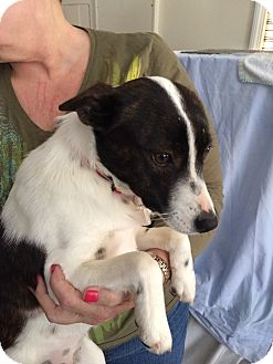 Jack Russell Terrier Mix Dog for adoption in Levittown, New York - Sprite