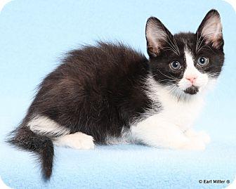 Domestic Shorthair Kitten for adoption in Las Vegas, Nevada - Belvedere