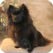Pomeranian Puppy for adoption in conroe, Texas - Onyx
