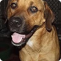 Anatolian Shepherd Mix Dog for adoption in Savannah, Missouri - Yollie