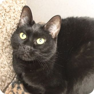 Domestic Shorthair Cat for adoption in Naperville, Illinois - Phoenix