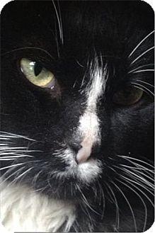Domestic Shorthair Cat for adoption in Freeport, New York - Sparkles