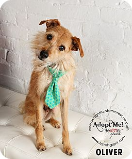 Cairn Terrier Mix Dog for adoption in Omaha, Nebraska - Oliver