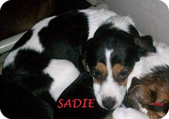 Beagle Mix Dog for adoption in Ventnor City, New Jersey - SADIE