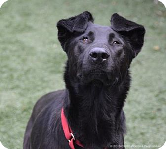 Labrador Retriever/Chow Chow Mix Dog for adoption in Parma, Ohio - Bear