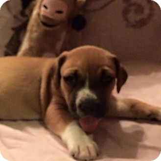 Boxer Mix Puppy for adoption in Westminster, Maryland - Beau