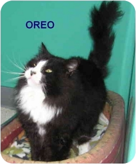 Domestic Longhair Cat for adoption in Peconic, New York - Oreo