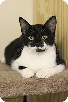 Domestic Shorthair Kitten for adoption in Hammond, Louisiana - Beaux