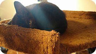Domestic Shorthair Kitten for adoption in Marietta, Georgia - Blossom