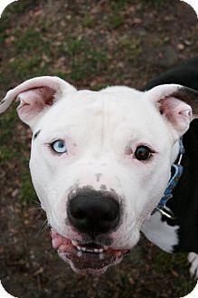 Pit Bull Terrier Dog for adoption in Framingham, Massachusetts - Dawson