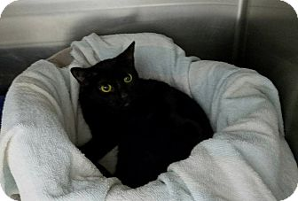 Domestic Shorthair Kitten for adoption in Elyria, Ohio - Jana