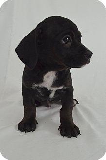 Dachshund/Hound (Unknown Type) Mix Puppy for adoption in San Diego, California - Lotus