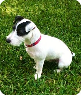 Jack Russell Terrier Dog for adoption in Austin, Texas - Ranger in Dallas