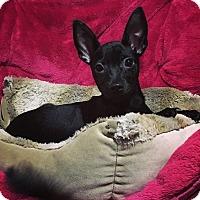 Adopt A Pet :: Buttercup - Davie, FL