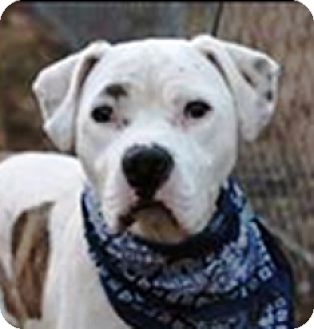 Boxer/American Bulldog Mix Dog for adoption in Turnersville, New Jersey - Stan-Adopted!