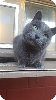 Russian Blue Cat for adoption in Douglas, Wyoming - Wilhelm