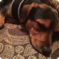 Adopt A Pet :: Cooper - Pittstown, NJ