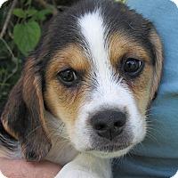 Adopt A Pet :: Adam - Germantown, MD