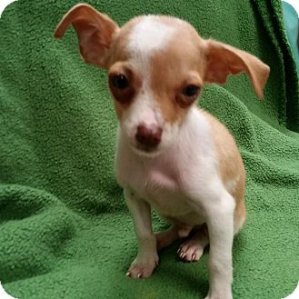 Chihuahua Mix Puppy for adoption in Allentown, Pennsylvania - Alex
