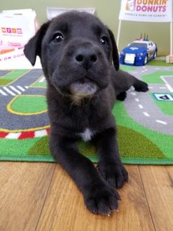 Black Mouth Cur Mix Dog for adoption in West Allis, Wisconsin - Donut